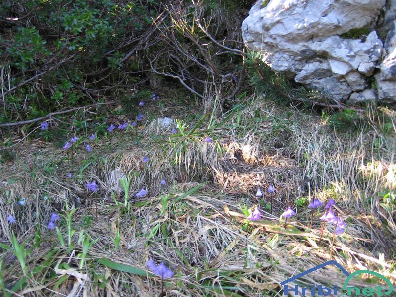 Navadni alpski zvonček (Soldanella alpina) - SlikaNavadni alpski zvonček (Soldanella alpina)