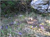 Katera rožca je to?Na vsej poti poljane navadnega alpskega zvončka -soldanella alpina , na enem steblu tudi trije cvetovi,višji in bolj živahne vijolične barve kot najmanjši alpski zvonček