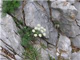 Athamata Cretensis