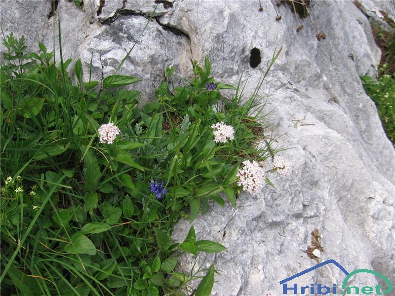 Gorska špajka (Valeriana montana) - PictureGorska špajka (Valeriana montana)