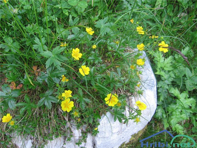 Zlati petoprstnik (Potentilla aurea) - SlikaZlati petoprstnik (Potentilla aurea)