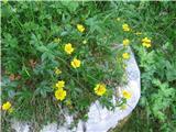 Zlati petoprstnik (Potentilla aurea)