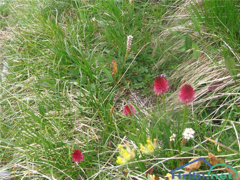 Rdeča murka (Nigritella rubra) - PictureRdeča murka (Nigritella rubra)