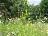 Navadna medena detelja (Melilotus officinalis)
