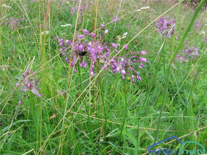 Lepi luk (Allium carinatum pulchellum) - PictureLepi luk (Allium carinatum pulchellum)
