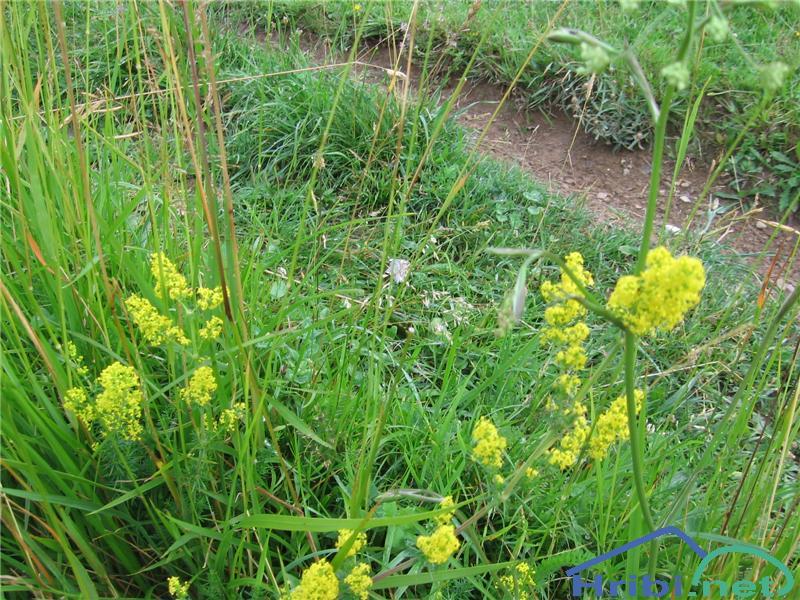 Prava lakota (Galium verum) - PicturePrava lakota (Galium verum)