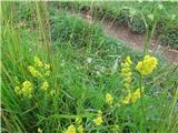 Prava lakota (Galium verum)