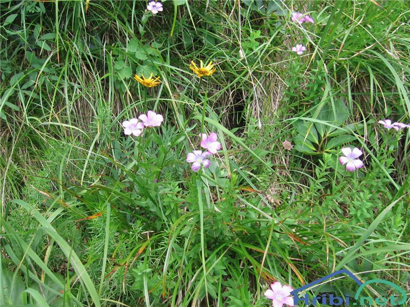 Lepljivi lan (Linum viscosum) - PictureLepljivi lan (Linum viscosum)