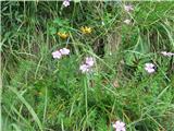 Lepljivi lan (Linum viscosum)