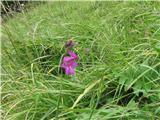 Močvirski meček (Gladiolus palustris)
