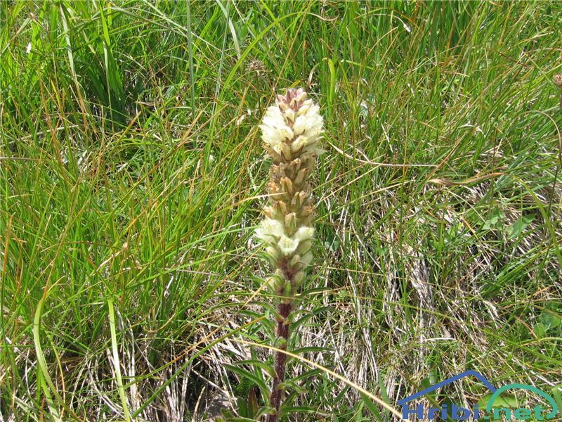 Šopasta zvončica (Campanula thyrsoides) - PictureŠopasta zvončica (Campanula thyrsoides)