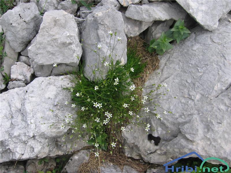Avstrijska črvinka (Minuartia austriaca) - SlikaAvstrijska črvinka (Minuartia austriaca)