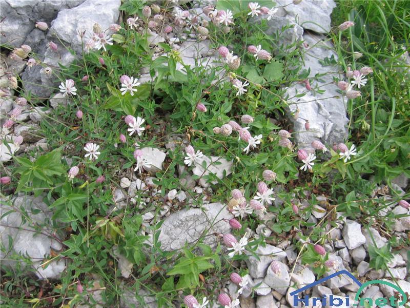 Meliščna pokalica (Silene vulgaris subsp. glareosa) - PictureMeliščna pokalica (Silene vulgaris subsp. glareosa)