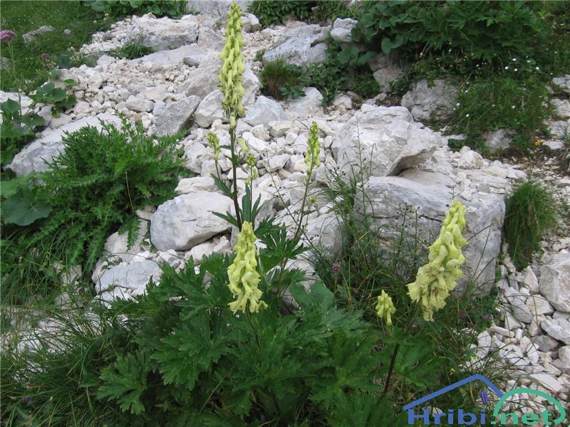 Zlatična Preobjeda (Aconitum Ranunculifolium) - PictureZlatična Preobjeda (Aconitum Ranunculifolium)