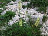 Aconitum Ranunculifolium