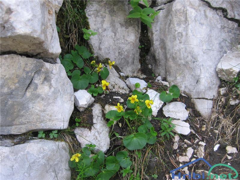 Dvocvetna vijolica (Viola biflora) - SlikaDvocvetna vijolica (Viola biflora)