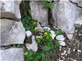 Dvocvetna vijolica (Viola biflora)