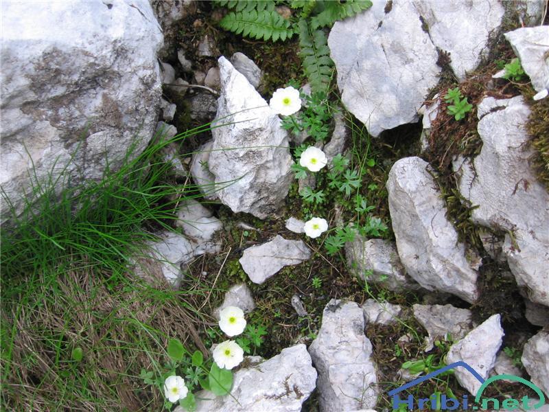 Traunfellnerjeva zlatica (Ranunculus traunfellneri) - SlikaTraunfellnerjeva zlatica (Ranunculus traunfellneri)