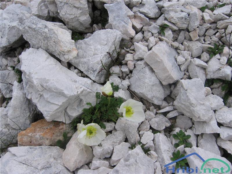 Julijski mak (Papaver alpinum ssp. ernesti-mayeri) - SlikaJulijski mak (Papaver alpinum)