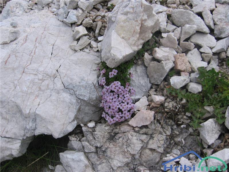 Pirenejski kamnokras (Petrocallis pyrenaica) - PicturePirenejski kamnokras (Petrocallis pyrenaica)
