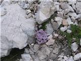 Pirenejski kamnokras (Petrocallis pyrenaica)