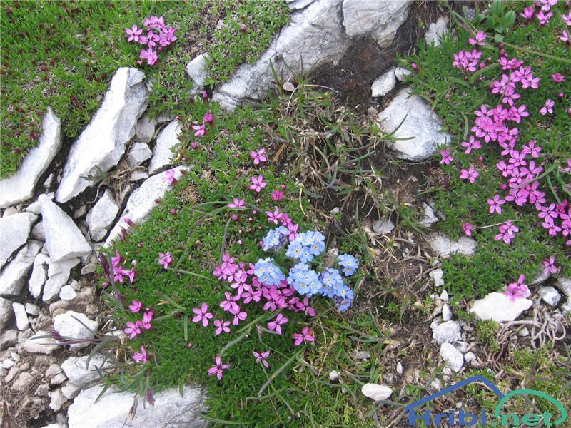 Planinska spominčica (Myosotis alpestris) - PicturePlaninska spominčica (Myosotis alpestris)