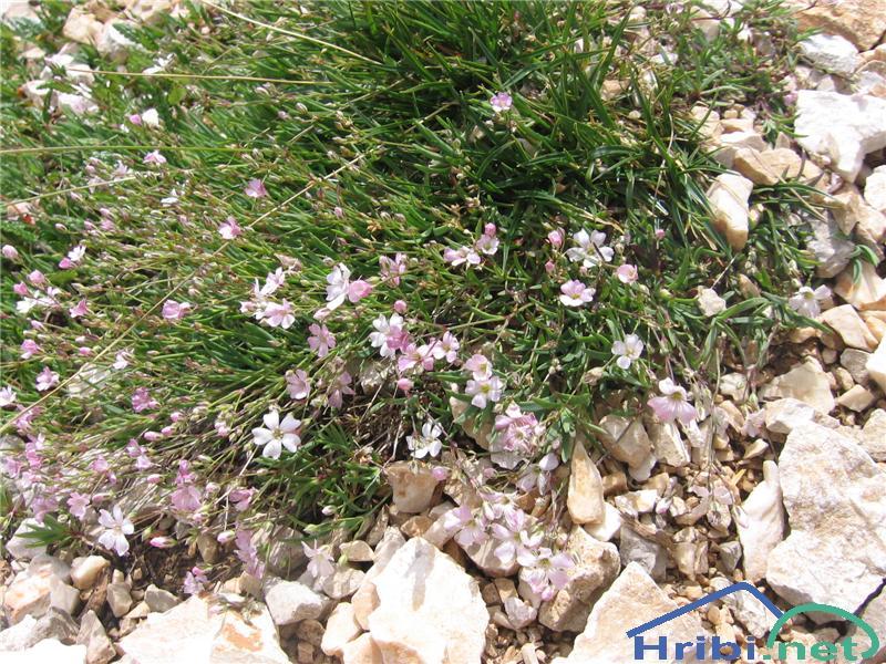 Plazeča sadrenka (Gypsophila repens) - SlikaPlazeča sadrenka (Gypsophila repens)