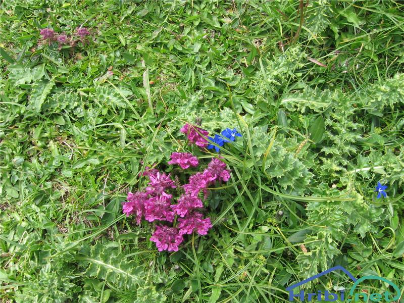 Vretenčasti ušivec (Pedicularis verticillata) - PictureVretenčasti ušivec (Pedicularis verticillata)