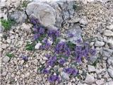 Alpska madronščica (Linaria alpina)