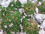 Nizka špajka (Valeriana supina)