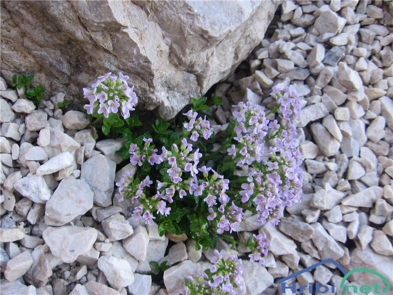Okroglolistni mošnjak (Thlaspi cepaeifolium) - PictureOkroglolistni mošnjak (Thlaspi cepaeifolium)