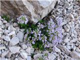 Okroglolistni mošnjak (Thlaspi cepaeifolium)
