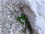 Alpska krešica (Pritzelago alpina)