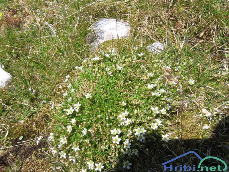Resasta popkoresa (Moehringia ciliata) - PictureResasta popkoresa (Moehringia ciliata)