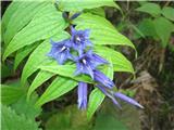 Svečnik ali svilničasti svišč (Gentiana asclepiadea)