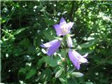 Koprivasta zvončica (Campanula trachelium)