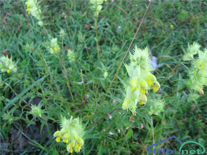 Resasti škrobotec (Rhinanthus glacialis) - SlikaResasti škrobotec (Rhinanthus glacialis)