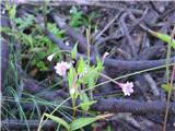 Gorski vrbovec (Epilobium montanum)