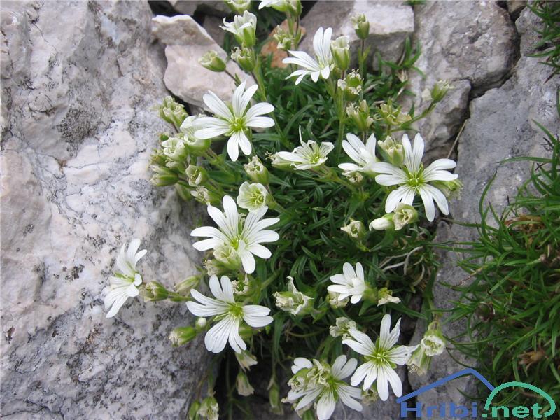 Skalna smiljka (Cerastium julicum) - SlikaSkalna smiljka (Cerastium julicum)