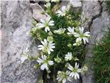 Skalna smiljka (Cerastium julicum)