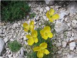 Papaver alpinum kerneri