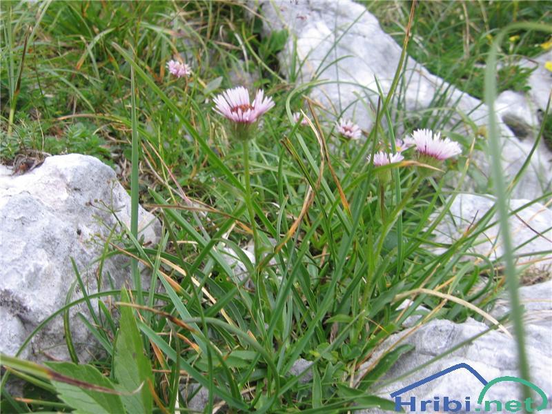 Mnogolična suholetnica (Erigeron glabratus) - PictureMnogolična suholetnica (Erigeron glabratus)