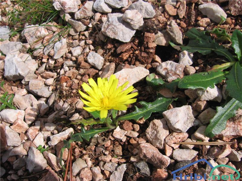 Gorski jajčar ali gorski otavčič (Leontodon montanus) - PictureGorski jajčar ali gorski otavčič (Leontodon montanus)