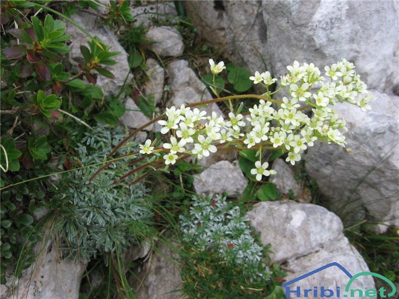 Skorjasti kamnokreč (Saxifraga crustata) - SlikaSkorjasti kamnokreč (Saxifraga crustata)