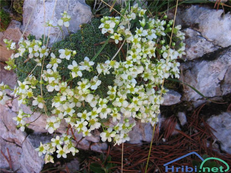 Sinjezeleni kamnokreč (Saxifraga caesia) - PictureSinjezeleni kamnokreč (Saxifraga caesia)