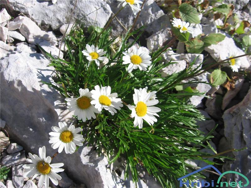 Kamniška ivanjščica (Leucanthemum lithopolitanicum) - SlikaKamniška ivanjščica (Leucanthemum lithopolitanicum)