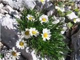 Leucanthemum lithopolitanicum