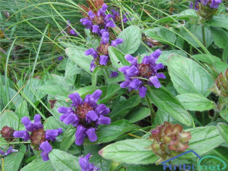 Velecvetna črnoglavka (Prunella grandiflora) - PictureVelecvetna črnoglavka (Prunella grandiflora)
