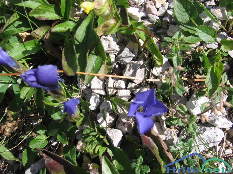 Resasti sviščevec (Gentianella ciliata) - PictureResasti sviščevec (Gentianella ciliata)