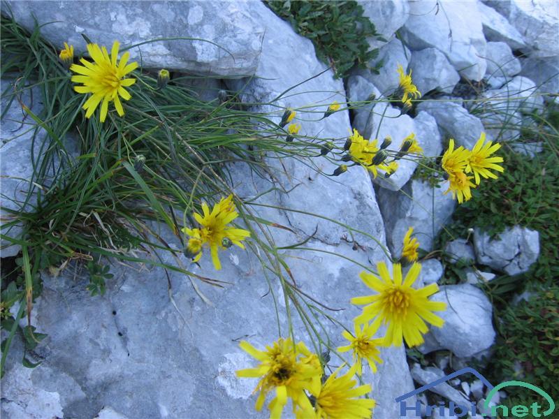 Porovolistna škržolica (Hieracium porrifolium) - SlikaPorovolistna škržolica (Hieracium porrifolium)
